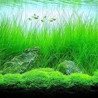 Long Hair Grass Live Aquarium Plant