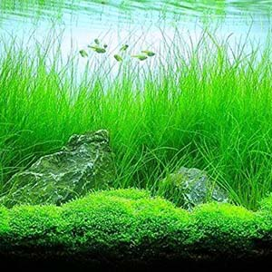 Long Hair Grass Live Aquarium Plant