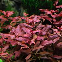 Ludwigia Sp. Mini Super Red Live Aquarium Plant