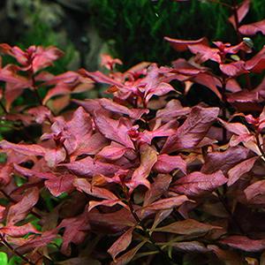 Ludwigia Sp. Mini Super Red by www.aquastore.in