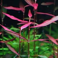 Polygonum Sp.Pink Live Aquarium Plant