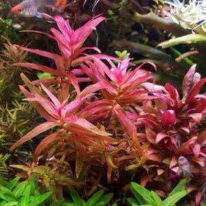 Polygonum Sp.Sao Paulo Red Live Aquarium Plant
