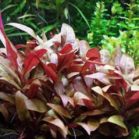 Red Mint Live Aquarium Plant