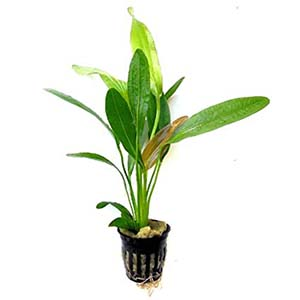 Rubin Amazon Live Aquarium Plant