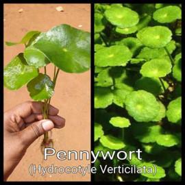 Pennywort by www.aquastore.in