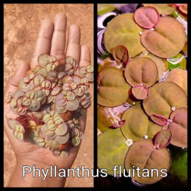 Phyllanthus fluitans by www.aquastore.in