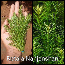 Rotala Nanjenshan by www.aquastore.in