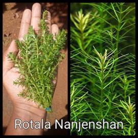 Rotala Nanjenshan Live Aquarium Plant