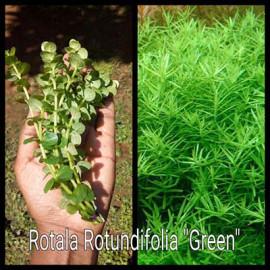 Rotala Rotundifolia Green Live Aquarium Plant