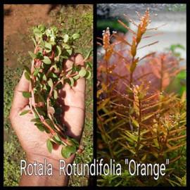 Rotala Rotundifolia Orange Live Aquarium Plant