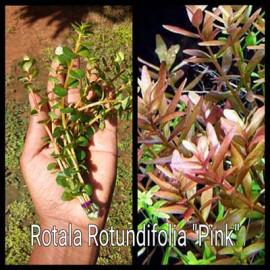 Rotala Rotundifolia Pink Live Aquarium Plant