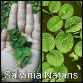Salvinia Natans Live Aquarium Plant