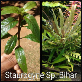 Staurogyne Sp. Bihar by www.aquastore.in