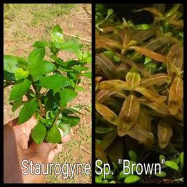 Staurogyne Sp. Brown by www.aquastore.in