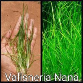Valisneria Nana by www.aquastore.in