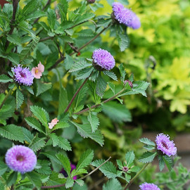 Button Beauty Outdoor Plant