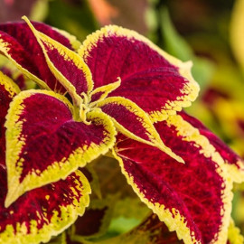 Coleus Outdoor Plant