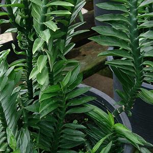 Pedilanthus Devil'S Backbone Indoor Plant