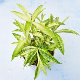 Dracaena Golden Milky Indoor Plant