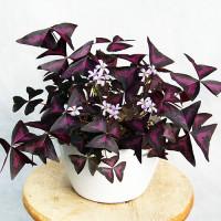 Oxalis Triangularis Indoor Plant