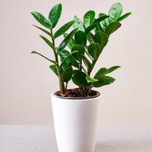 Zamioculcas Zamiifolia Indoor Plant