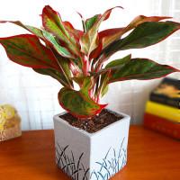 Aglonema Lipstik Indoor Plant