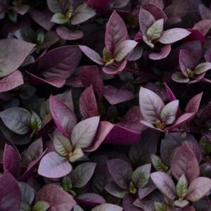 Alternanthera Outdoor Plant