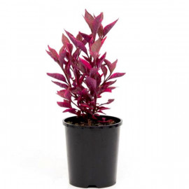 Alternanthera Red Outdoor Plant